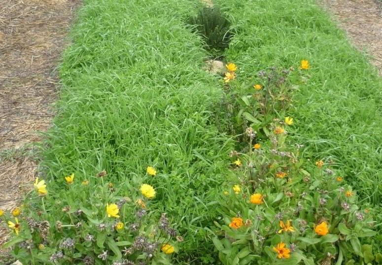 Cuándo sembrar los abonos verdes