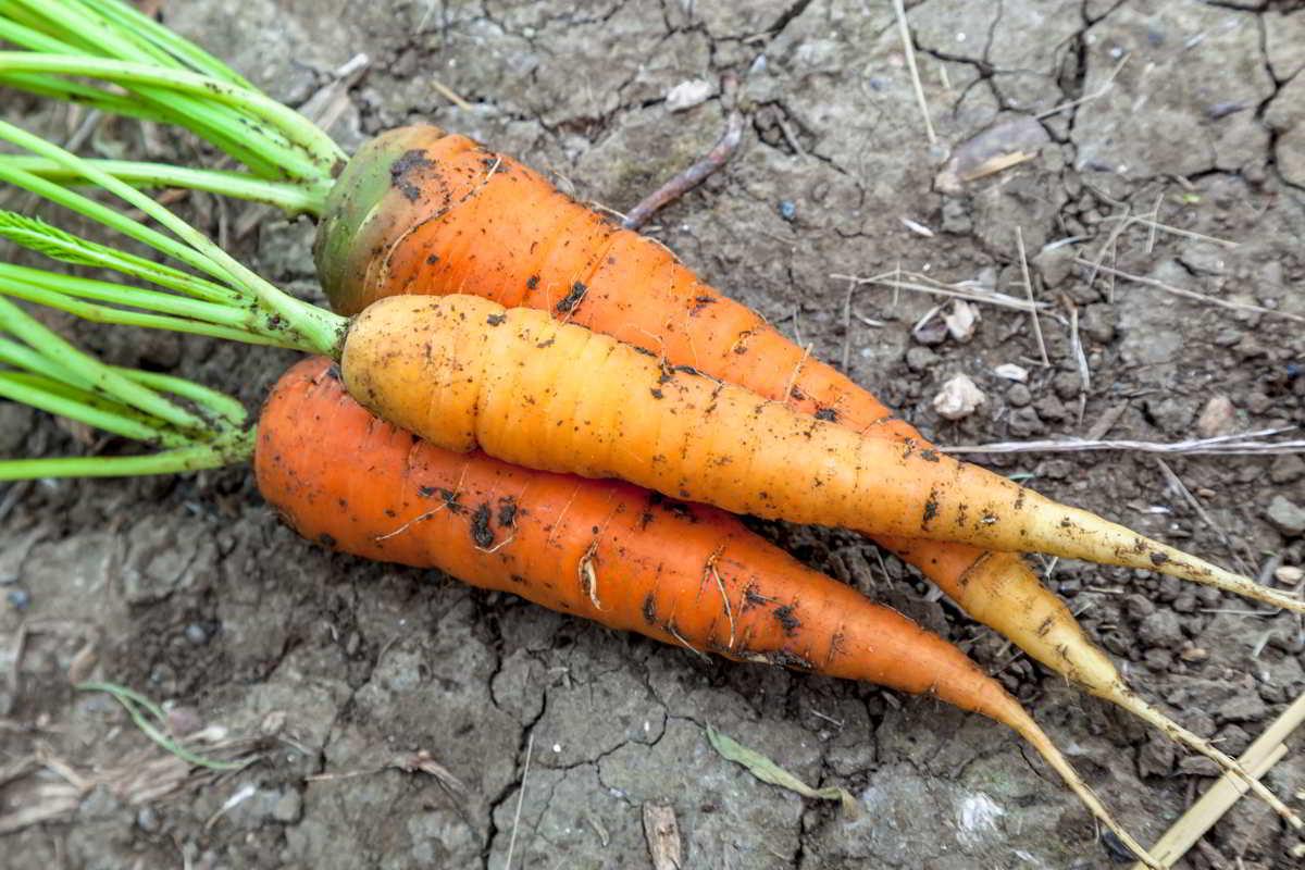 Zanahoria Verduras Y Hortalizas Las zanahorias son vegetales saludables y deliciosos tanto crudas, como cocinadas. zanahoria verduras y hortalizas